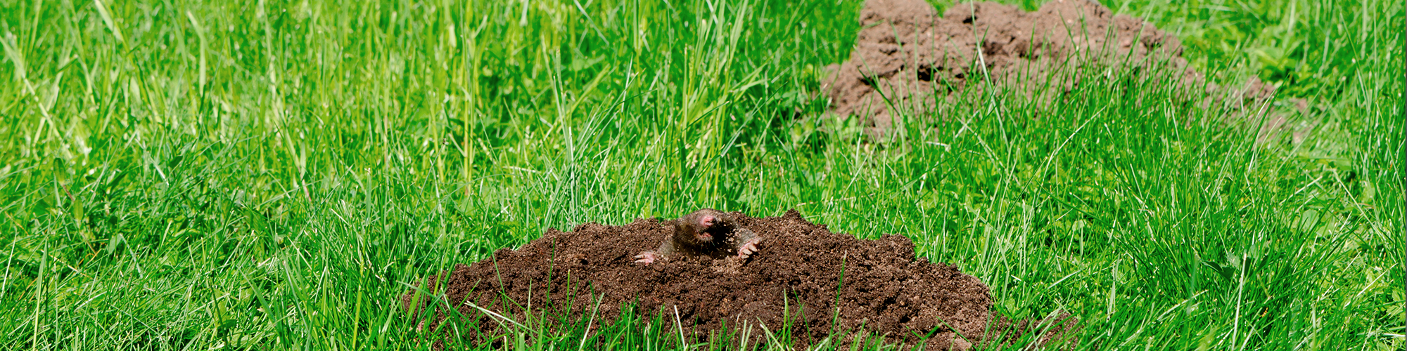 How Do You Get Rid Of Moles In Your Yard Humanely